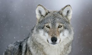 the wolf in snow